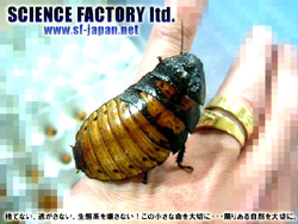 画像1: ■マダガスカルオオゴキブリ★成虫ペア★ (1)