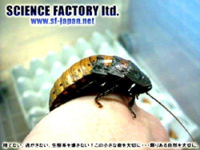 画像1: ■マダガスカルオオゴキブリ★成虫ペア★
